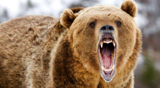 growling-bear